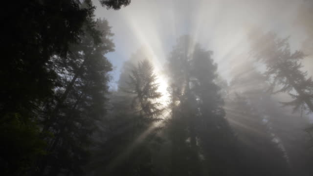 Redwood forest, sun rays  and fog, Redwood National Park, CA