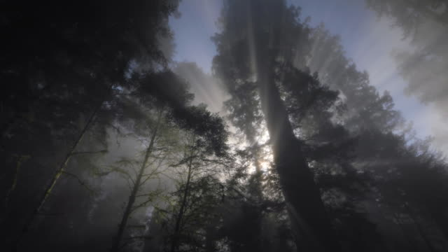 redwood forest, sun rays  and fog, redwood national park, ca - redwood tree stock videos and b-roll footage