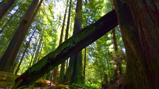 vídeos de stock, filmes e b-roll de floresta de redwood - sequoia sempervirens