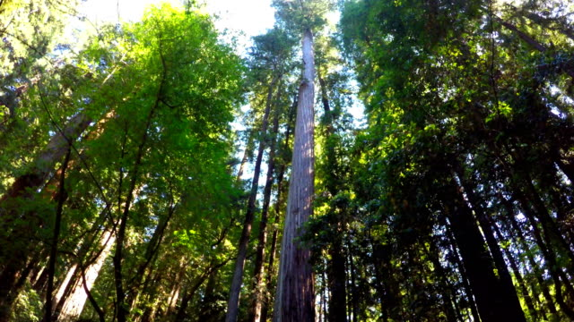 redwood forest - giant sequoia stock videos and b-roll footage