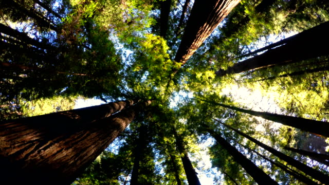 redwood forest - redwood tree stock videos and b-roll footage