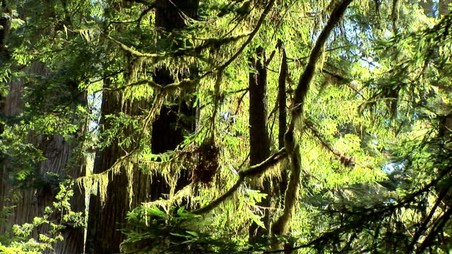 redwood forest - epiphyte stock videos & royalty-free footage