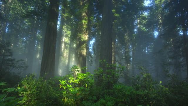 vídeos de stock e filmes b-roll de redwood forest with fog and sun rays - céu vida após a morte
