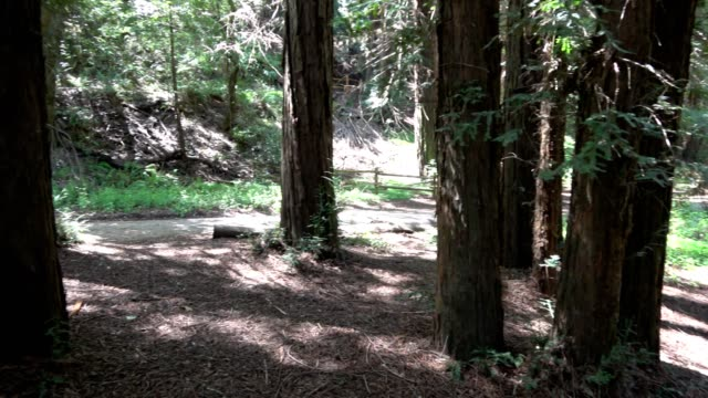 redwood grove - sequoia sempervirens stock videos and b-roll footage