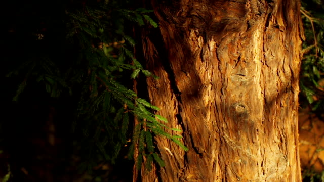 redwood. nature background - sequoia stock videos & royalty-free footage