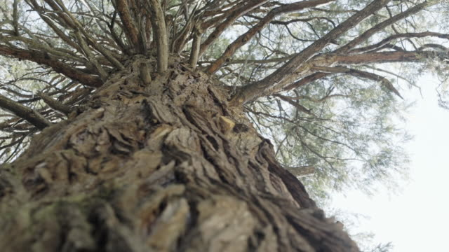 stockvideo's en b-roll-footage met a redwood tree looms overhead - laag camerastandpunt