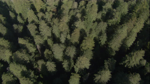 redwood trees grow close together in a forest. available in hd. - redwood forest stock videos and b-roll footage