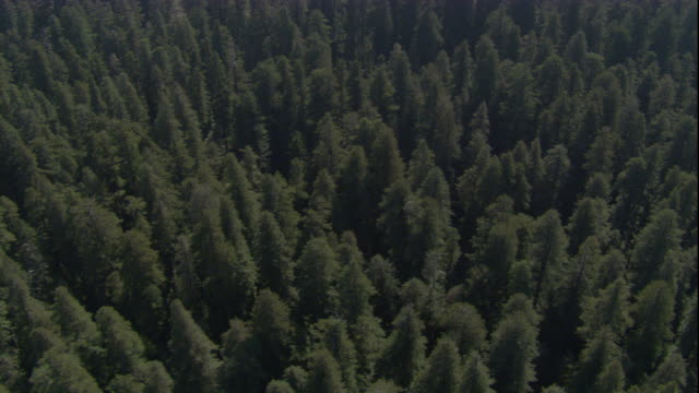 vídeos de stock, filmes e b-roll de redwood trees grow in a forest. available in hd. - sequoia sempervirens