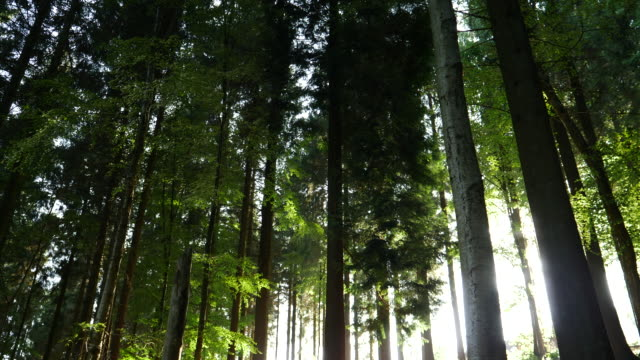 pan redwood trees in a forest - sequoia sempervirens stock videos and b-roll footage