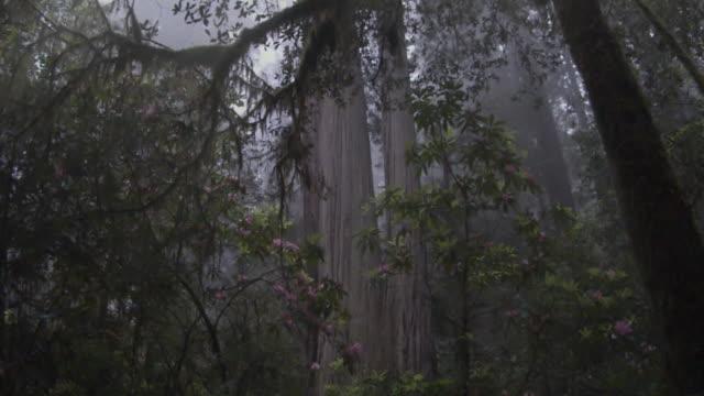 MS POV SLO MO  Redwood Trees in Fog / Redwood National Park, California, USA