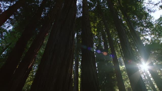 vidéos et rushes de ms tu redwood trees in muir woods - tronc d'arbre
