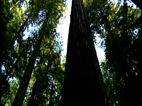 redwood trees - haltbarkeit stock-videos und b-roll-filmmaterial