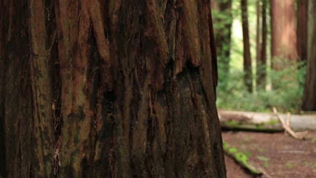vídeos y material grabado en eventos de stock de redwoods - bosque de secuoyas