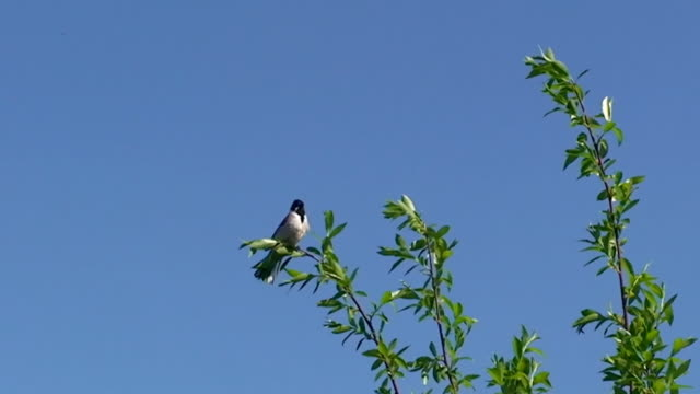 vídeos de stock, filmes e b-roll de escrevedeira-dos-caniços bird telefone da copa de árvore - vista de ângulo baixo