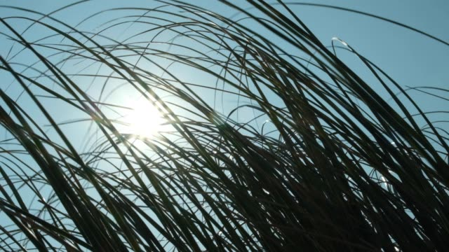 reed field - reed grass family stock videos & royalty-free footage