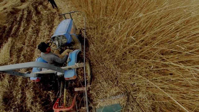 reed harvest - reed grass family stock videos & royalty-free footage