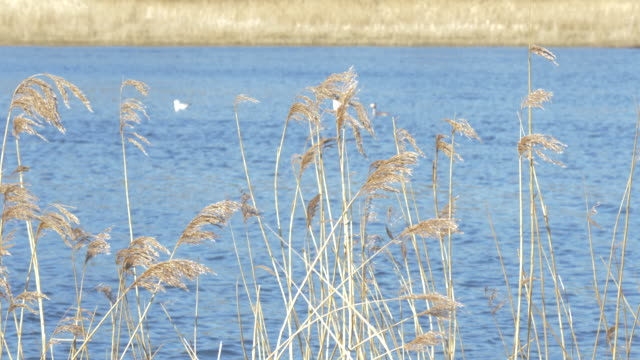 reed in the wind  against quoile river,northern ireland - reed grass family stock videos & royalty-free footage