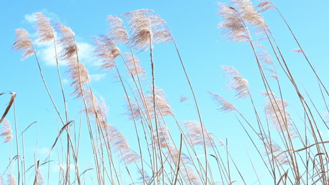 reed moving to the rhythm of the wind in spring. tranquil scene. it is a windy day close to a lake. germany. - grass family stock videos & royalty-free footage