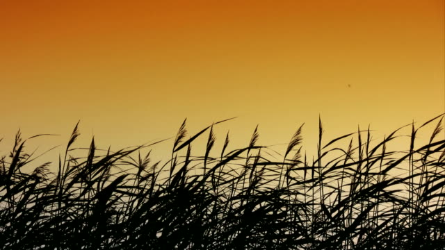 reed silhouettes (hd) - reed grass family stock videos & royalty-free footage