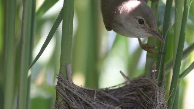 巣のリードウグイス(アクロセファルス・シルパセウス) - ムシクイ類点の映像素材/bロール
