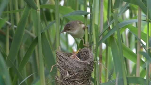 reed warbler at nest with chicks (acrocephalus scirpaceus) - young bird stock videos & royalty-free footage