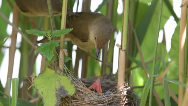 カッコウと巣のリードウグイス - ムシクイ類点の映像素材/bロール