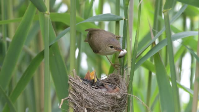 reed warbler who takes away the faecal sacs of the chicks - young bird stock videos & royalty-free footage
