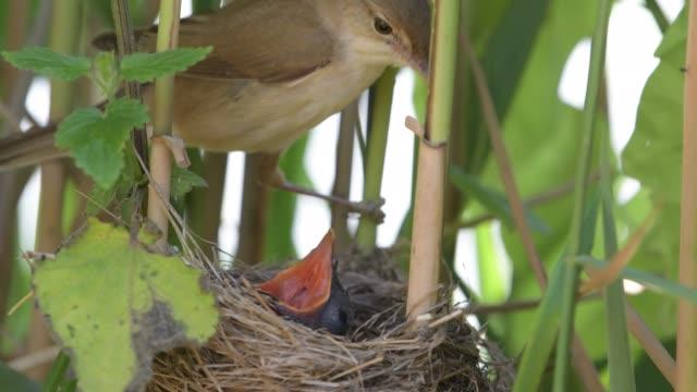 巣の中のカッコウとリードウグイス - ムシクイ類点の映像素材/bロール