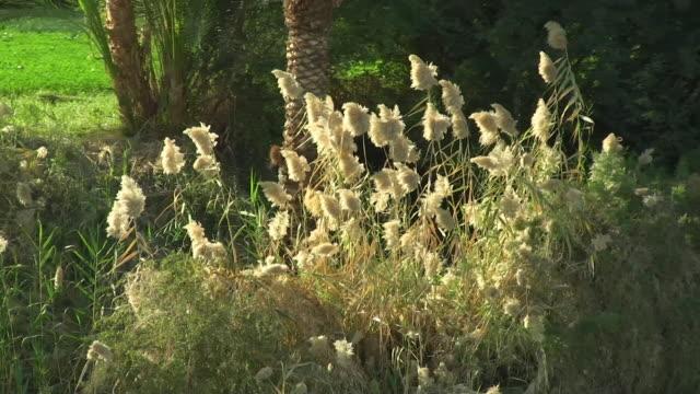 CU, PAN, Reeds at Nile River, Egypt