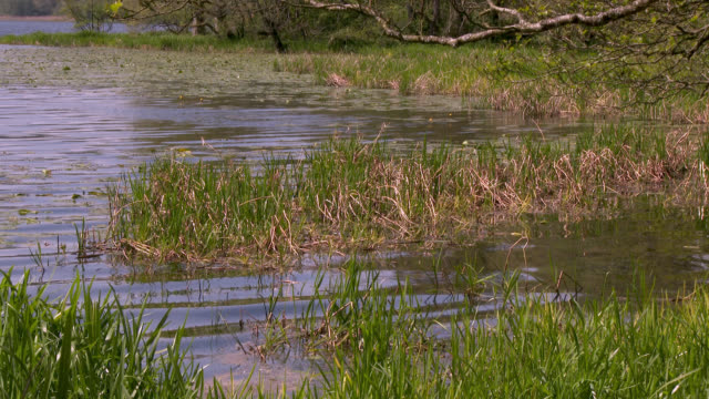 reeds beside a loch blowing in the wind - johnfscott stock videos & royalty-free footage