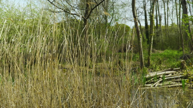 reeds blow in the breeze by pond - land stock videos & royalty-free footage