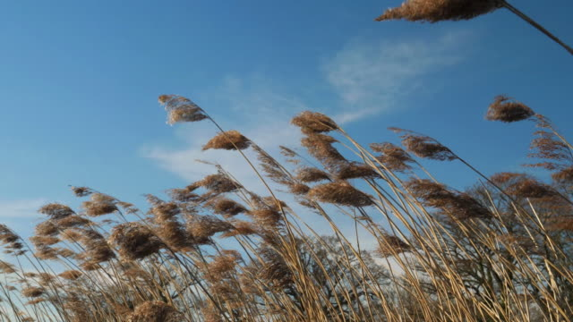 reeds blowing in the wind. - swaying stock videos & royalty-free footage