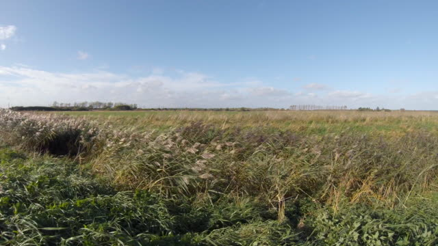 reeds bow to the high fenland wind - fen stock videos and b-roll footage