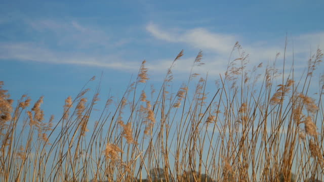 reeds gently blowing in the wind. - swaying stock videos & royalty-free footage