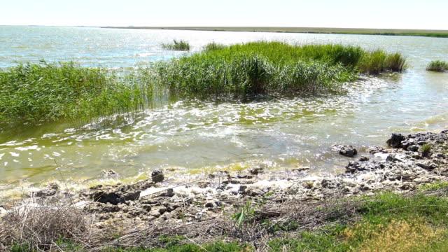 vidéos et rushes de roseaux dans le lac près du rivage - bras mort de cours d'eau