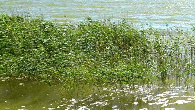 reeds in lake near the shore - backwater stock videos & royalty-free footage
