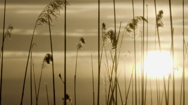 reeds moving in the wind. summer sunset - lakeshore stock videos and b-roll footage