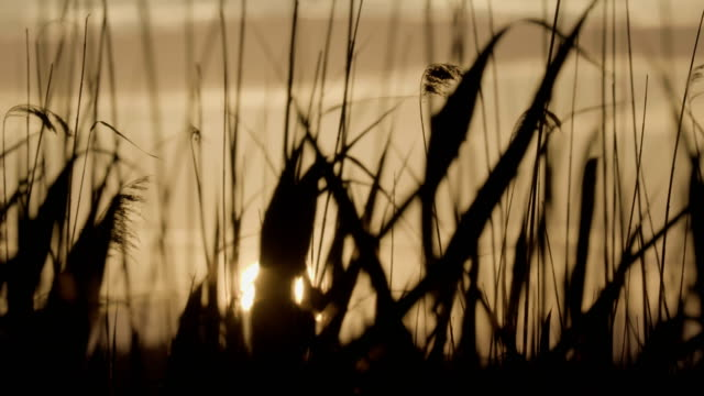 Reeds moving in the wind. Summer sunset