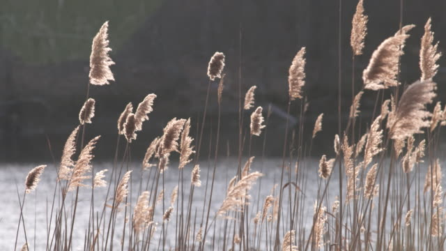 reeds on lake focus pull - vector stock videos & royalty-free footage