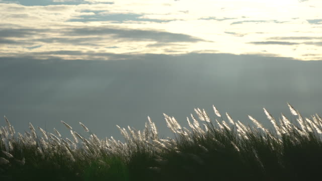 reeds over sunset and clody sky - reed grass family stock videos & royalty-free footage