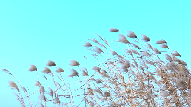 reeds swaying against blue sky - reed grass family stock videos & royalty-free footage