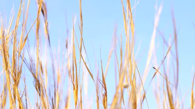 reeds swinging - reed grass family stock videos & royalty-free footage