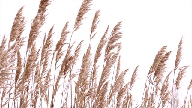 vídeos de stock, filmes e b-roll de reeds - caniço