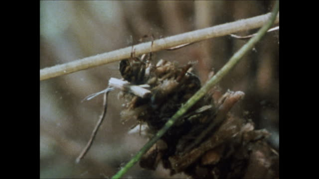 reeds w/ moving mound of twigs cu caddisfly larva in protective twig case vs larvae in vegetation cases one w/ plant on back one climbing stalk w/... - twig stock videos & royalty-free footage