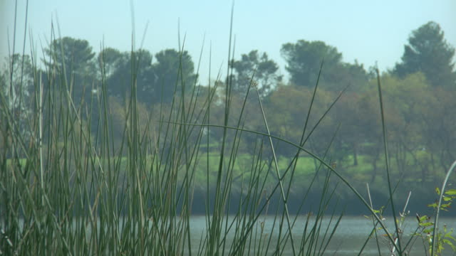 reeds wave in the breeze next to a scenic lake. - marsh stock videos & royalty-free footage