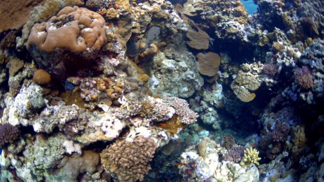 vidéos et rushes de reef and coral - vincent pommeyrol