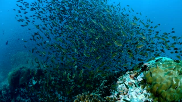 Reef and Marine life in Chumphon dive stie, Thailand