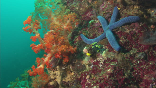 Reef, Blue sea star, with soft coral, on reef wall. Indonesia