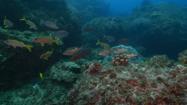 rifffische am tropischen meer in ogasawara inseln, japan - meerbarbe stock-videos und b-roll-filmmaterial