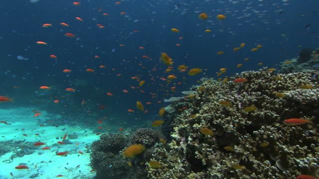 Reef fish feeding. Seen here are lemon damselfish (Pomacentrus moluccensis) lyretail anthias (Pseudanthias squamipinnis) and blue green chromis (Chromis viridis)